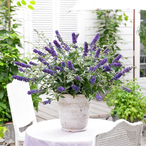 Dwarf Patio Buddleia 'Blue Chip' plants - pack of 3 in 9cm pots