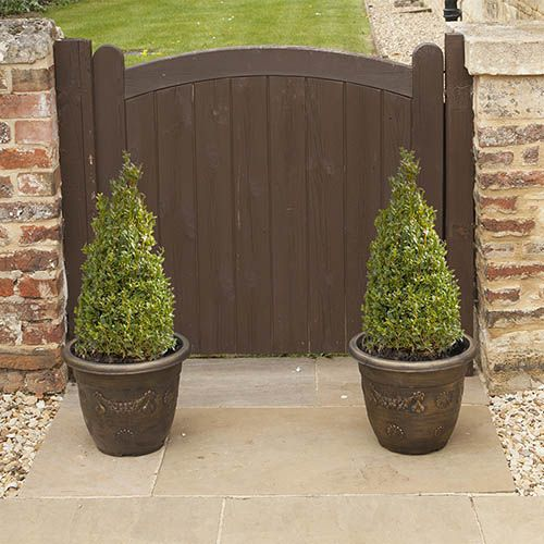 Pair of Box (Buxus) Pyramids 45-50cm tall