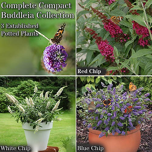 Dwarf Patio Buddleia Chip plant collection - red, white & blue