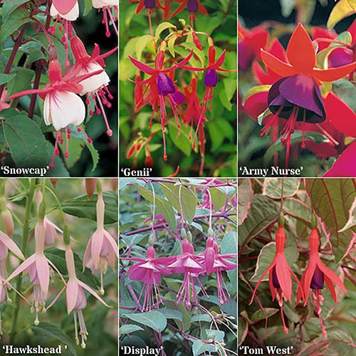 Complete Hardy Fuchsia Garden Ready Collection - 6 varieties