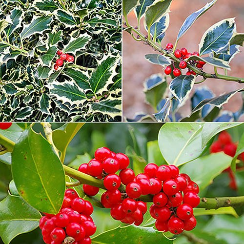 Pack of 3 Varieties of Holly Bush in 1L Pots