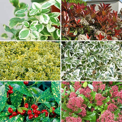 Winter interest evergreen shrub collection 6 plants for Hardy flowering trees