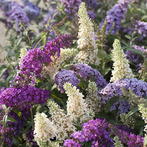 Buddleia (Butterfly Bush) Tricolour pot 2L
