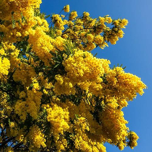 Flowering Mimosa (Acacia) 3L pot 0.8 -1M
