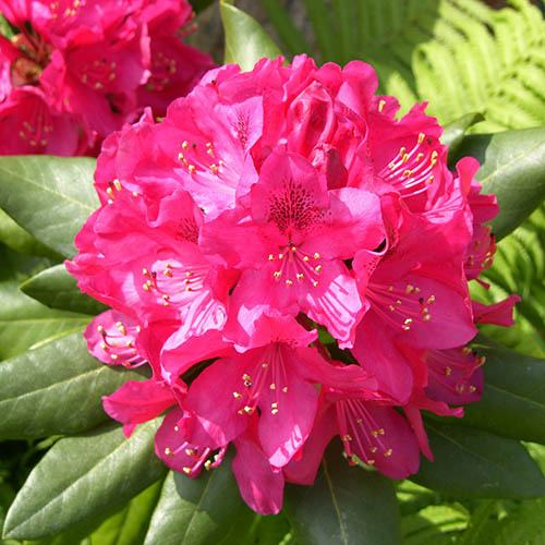 Rhododendron hybrid Germania