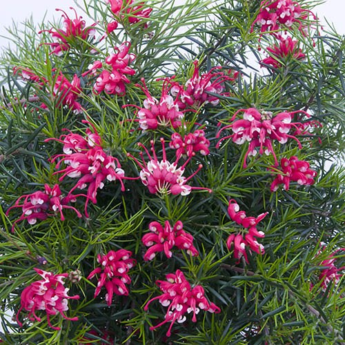 Set of 3 Grevillea Canberra Gem Flowering Shrubs in 9cm Pots