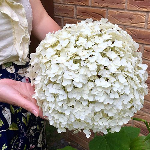 "Tree Hydrangea ""Incrediball"" (Strong Annabelle) plant in 9cm pot"