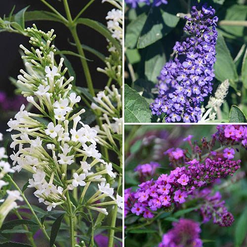 Compact Buddleia (Butterfly Bush) Petite Collection 3 x 8cm Plants 20cm Tall