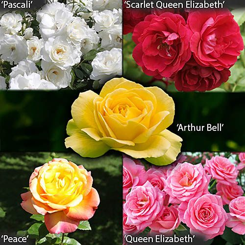 Garden Glamour 'Repeat-Flowering' Rose Bush Collection  x 5 Bare root plants
