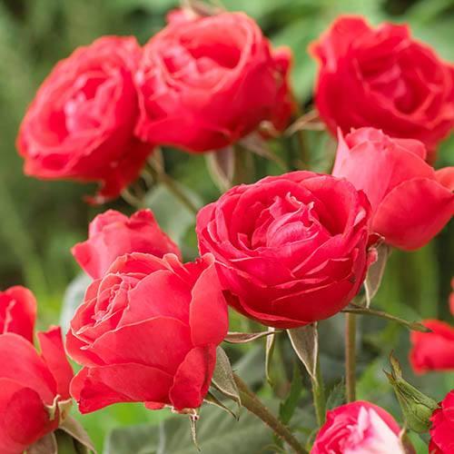 Potted Rose Scarlet Queen Elizabeth in 3L pot