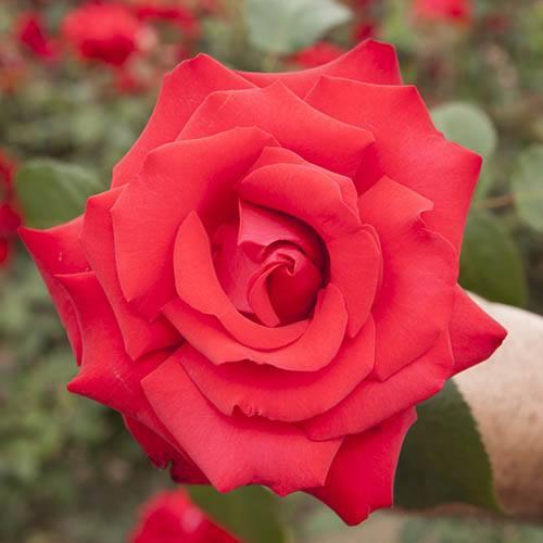 Gift Rose My Valentine