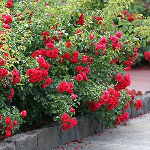 Groundcover Rose Flower Carpet Scarlet