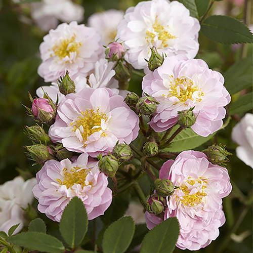 Pair of Mini Rambling Roses