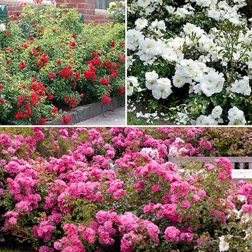 Groundcover Roses FlowerCarpet Collection