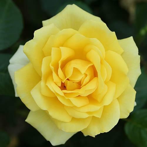 Rose Guys Gold