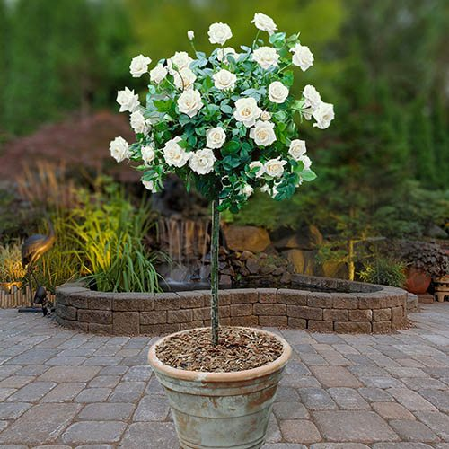 Patio Standard Roses - Pair of White 60cm tall bare root