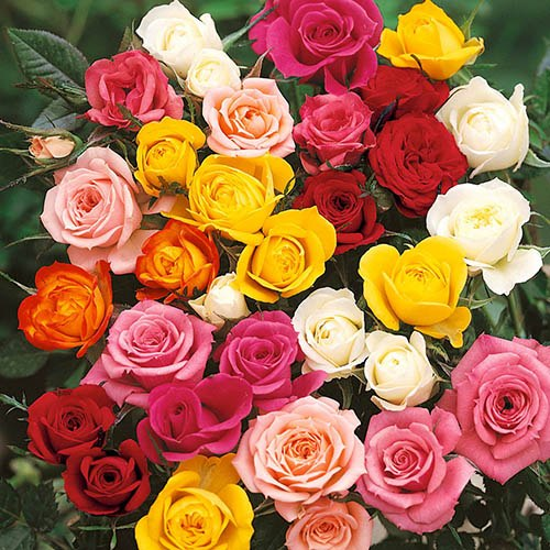 Rose Collection - Best Ever 5 Bush Hybrid Tea Roses