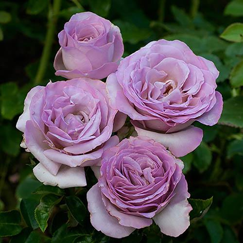 Rose 'Blue Beauty' half standard 90cm tall bare root