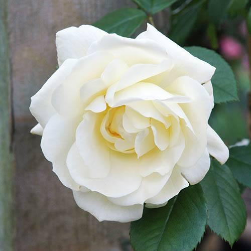 Premium Rose Notre Dame de Calais