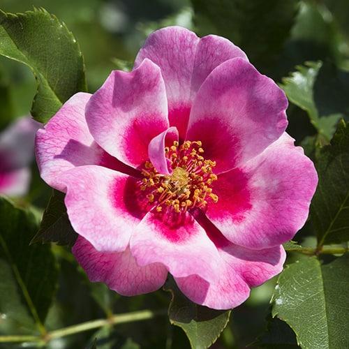 Rose Babylon Eyes Queen Pink Bush potted 3L