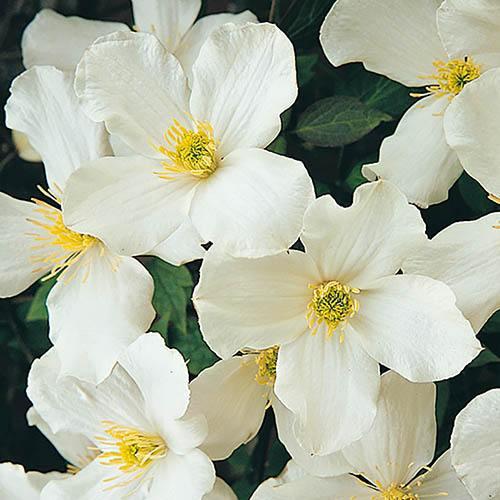 Clematis montana Grandiflora