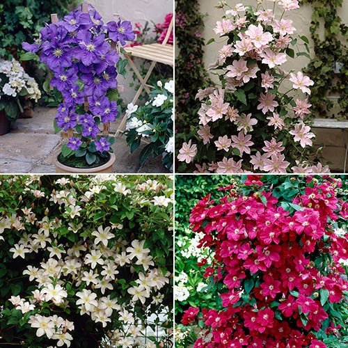 Pair of Mixed Colour Boulevard Patio Clematis Plants in 3L Pots