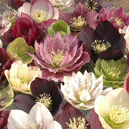 "Hellebore ""Hybridisers Mix"" - pack of 10 plants"