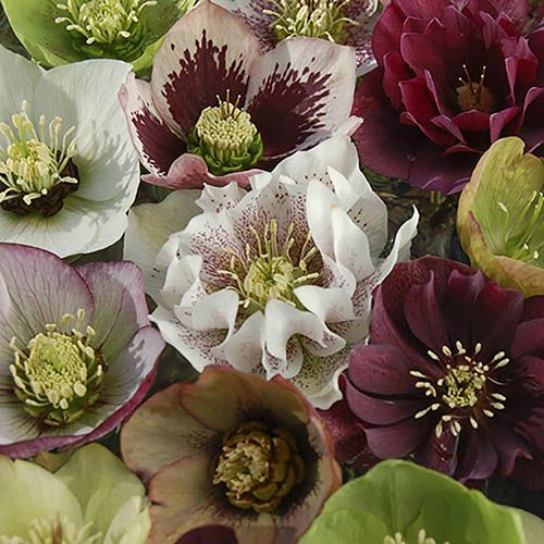 "Hellebore ""Kings and Queens Mix"" - Pack of 10 Plants"
