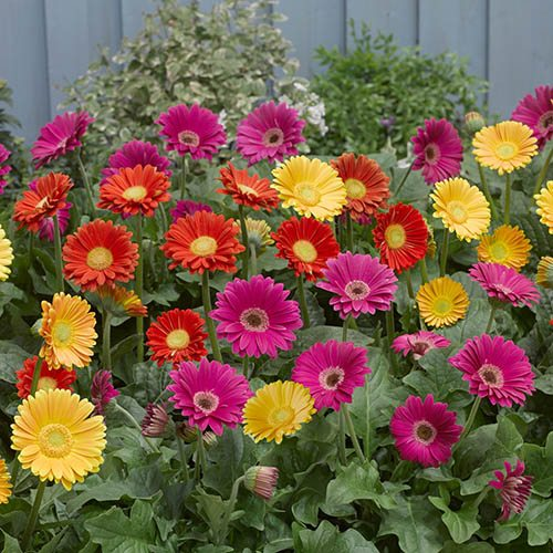 Hardy Perennial Gerbera 'Garvinea' Collection - pack of 3 colours in 7cm pots