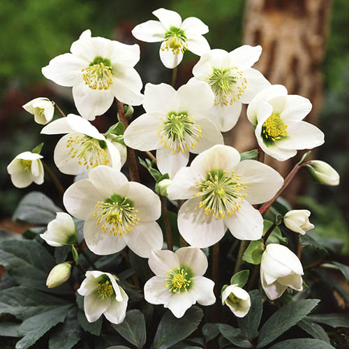 Christmas Rose plants (Helleborus niger 'Christmas Carol') - set of 3 in 1L pots