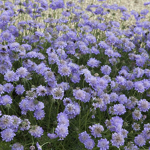 Pack of 3 Scabiosa 'Butterfly Blue' Plants in 9cm Pots