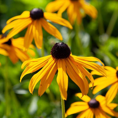 Image of Hardy Rudbeckia 'Goldsturm' perennial plants - pack of 3 in 9cm pots