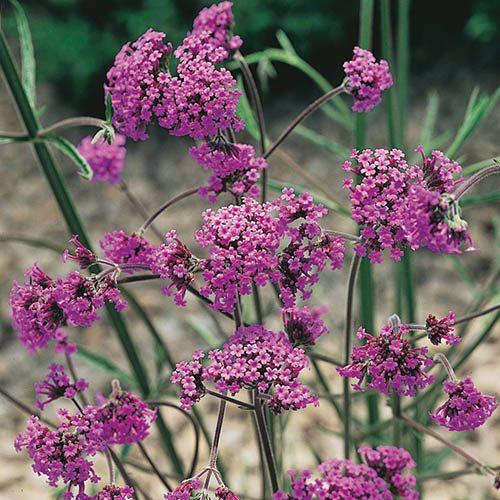 Verbena bonariensis 9cm