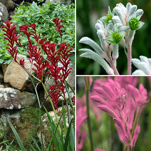 Image of Kangaroo Paws (Anigozanthos) Pastel Bush Gems x3 plants in 10.5cm Pots in flower
