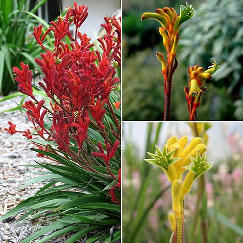 Image of Kangaroo Paws (Anigozanthos) Hot n Spicy Gems x3 plants in 10.5cm Pots in flower