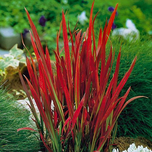 Plants & Seeds Imperata cylindrica Red Baron 2L
