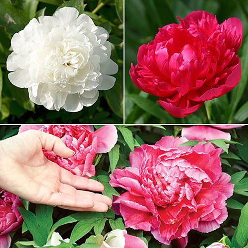 Herbeaceous Paeony plants (pack of 3 colours) bare roots