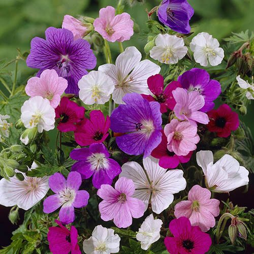 Colourful Hardy Geranium 'Cranesbill' Collection - Includes 5 Bare Roots