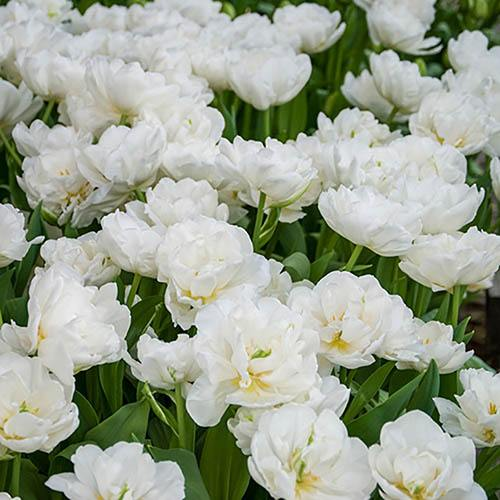 Tulip bulbs 'Mount Tacoma' (Paeony flowered) pack of 15