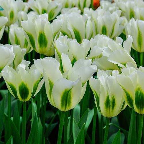 "Tulip bulbs ""Spring Green"" pack of 10"