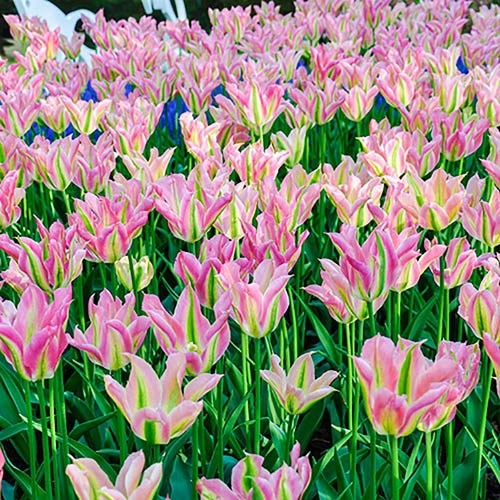 Tulip bulbs 'Greenland' (viridiflora) pack of 15