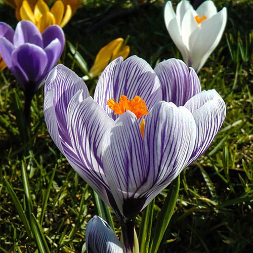 Large-Flowered Crocus Striped