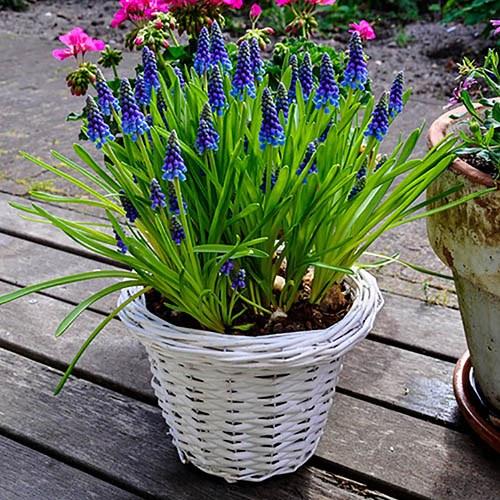 Muscari armeniacum bulbs (Grape Hyacinth) pack of 50