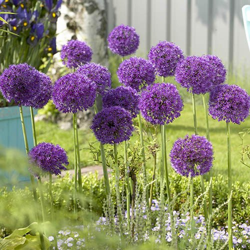 "Allium bulbs ""Purple Sensation"" pack of 12"