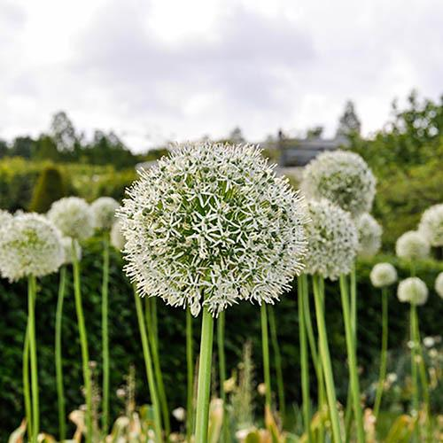 "Allium bulbs ""Mount Everest"" pack of 2"