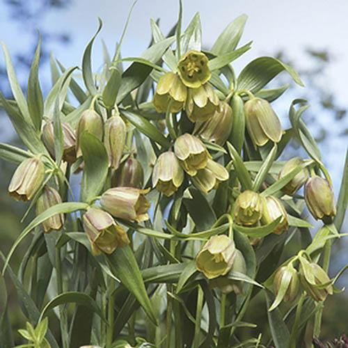Fritillaria pontica Size:6+ pack of 5 bulbs