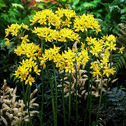 Allium moly (Golden Garlic) Size:4/5 pack of 100 bulbs