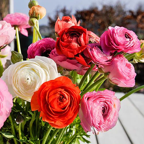 Ranunculus Mixed Size:4/5 pack of 50 bulbs