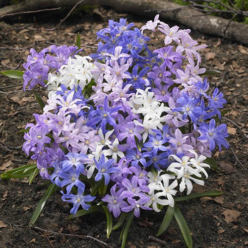 Chionodoxa lucilaea (Glory of the Snow) Size:4/5 pack of 100