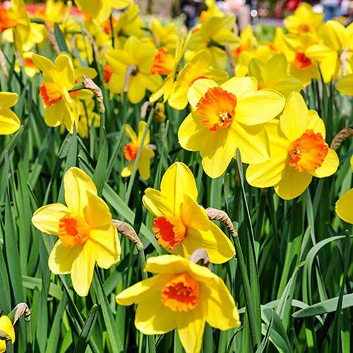 Plants & Seeds Daffodil Yellow Orange